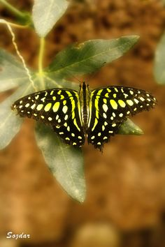 "Butterfly"" by Sozdar S"