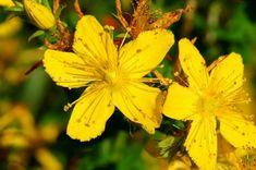 Litha: Enjoying a simple summer solstice Herbs List, Summer Solstice, Healing Herbs, Herbal Medicine, Healer, Magick, Natural Health, Natural Remedies, Spirituality