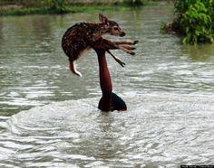 Este bravo garoto resgatou um jovem cervo entrando em um rio cheio e turbulento para salvá-lo. Aconteceu em Bangladesh.