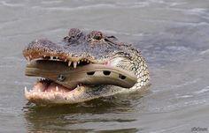 Crocs taste good?