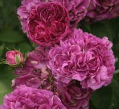 Buy crimson purple Charles de Mills Rose - Kelways