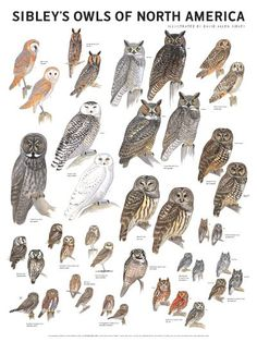 Sibley's Owls of North America Poster – Scott & Nix Burrowing Owl, Barred Owl, Owl Bird, Pet Birds, Elf Owl, Gravure Illustration, Spotted Owl, Bird Identification, Animal Illustrations