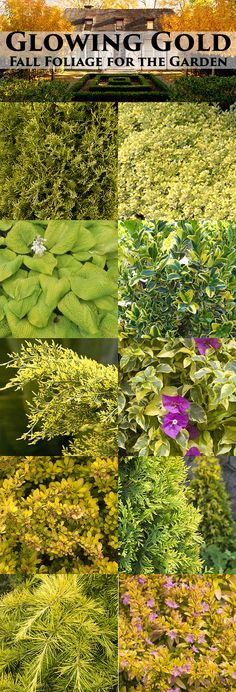 Add the Midas touch to your garden this fall with these beauties ranging from chartreuse to molten.