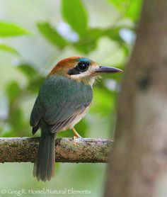 The Tody Motmot (Hylomanes momotula) is a species of bird in the Momotidae family. It is monotypic within the genus Hylomanes.[2] It is found in Belize, Colombia, Costa Rica, El Salvador, Guatemala, Honduras, Mexico, Nicaragua, and Panama.