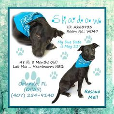 SHADOW HAS NO APPS & HES DESCRIBED AS THE PERFECT DOG & YET ORANGE COUNTY FLORIDA KILL SHELTER WILL KILL THAT PERFECT DOG IF WE DONT HELP HIM. PLEASE HELP...