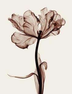 Steven N. Meyers, Parrot Tulip