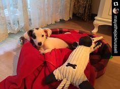 by @mayathejackrussell  Another sick day  . #jackrussell #jackrussellpuppy #jackrussellterrier #babyanmlpics #AnimalAddicts #puppysketch #dog #dogs #love #happy #puppy #cutepetclub #doglife #worldofcutepets #pets #terrier #jackrussellsofig #sendadogphoto #doglover #adorable #dogselfiesofinstaworld #dog_features #doglife #mydogiscutest #thatsbabyanimals #dogfeatureonig #futuredogonig #mydogiscutest #f4f
