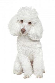 Pudel weiß Bulldog Breeds, Pet Breeds, Best Dog Breeds, Best Dogs, Poodle Toy Branco, White Toy Poodle, Perros French Poodle, French Poodles, Cortes Poodle
