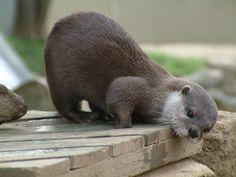 Baby otter wonders what is below
