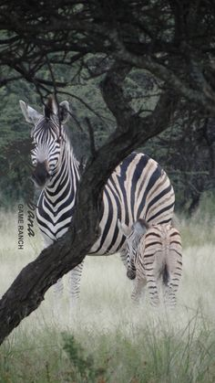 TOUCH this image: Zebra Foal-Xombana, DinokengGameReserve by Xombana
