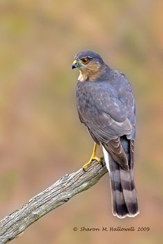 Sharp-Shinned Hawk - She landed on a bare branch just beyond my back yard.  I thought she was a jay, but when I took out the binoculars, I could see her small head and the banded tail and reddish neck as she turned. November 5, 2015.