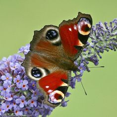 Peacock Butterfly - they like the buddleia and the caterpillars like nettles (which we have lots of!)