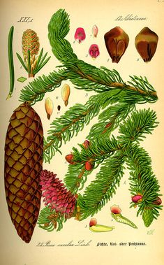 Google Image Result for http://www.lutherie.net/picea.abies.old.illustration.jpg