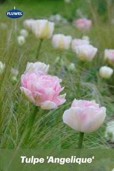 Die 'Angelique' ist eigentlich schon ein alter Hase unter den Tulpen - es gibt sie bereits seit über 50 Jahren auf dem Markt - und dennoch überrascht sie uns immer wieder neu mit ihrer Präsenz und Schönheit. Im Garten verbreitet sie romantisches Flair und erinnert mit ihrer rosafarbenen, gefüllten Blüte an Zuckerwatte. Besonders schön macht sie sich zwischen weichen Gräsern, die sie zart umschmeicheln 🥰 Pflanzzeit ihrer Blumenzwiebeln ist jetzt im Herbst! Flowers Uk, Purple Flowers, Late Summer Flowers, Tulip Season, Partial Shade Plants, White Flower Farm, Tulips Garden, Tulip Bulbs, Gras