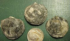 Pseudotrypa, Brachiopods uploaded in Middle Devonian: Pseudotrypa devonaria (brachiopods) Middle Devonian Wanakah Shale Lower Ludlowville Formation H...