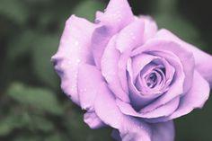 Light Purple Roses - Bing Images Purple Roses, Lilac, Pastel Colors, Colours, Light Purple, Flowers, Plants, Bing Images, Snow