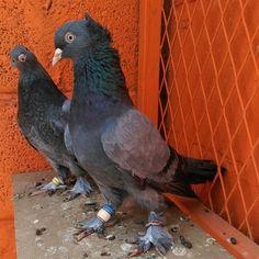 tepeli duman takım @pigeonturkey #ALLAH #pigeon #good #love #forever #güvercin #güvercinler #kuş #uçankuşlar #taklacı #oyunkuşu #musul #ırak #batman #diyarbakır #amed #mardin #sun #freedom #like #kurdish #instagood #photooftheday #beautiful #happy #follow #followme #beautiful #fashion