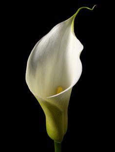 Arum lily - love them