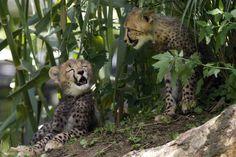 3 month old cheetahs