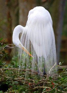 our-amazing-world:  Great Egret Amazing World beautiful amazing