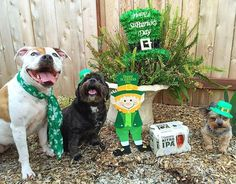 Happy St. Patrick's Day from #thesagumbeerpups ! We are enjoying this Nitro IPA by @guinness to celebrate this Irish day! #cheers #lhasaapso #yorkie #americanbulldog #pitbull #cutedogs #stpatricksday #green #dogsontap #luckycharm #guiness #sacramento #beer #dogmodels #toungeout #fun #dog #ipa  by thesagumbeerpups  http://bit.ly/teacupdogshq