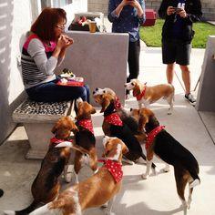 happy beagles