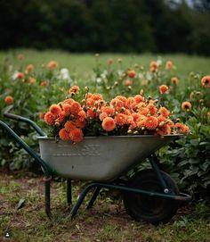 Orange Farm, Orange Country, Growing Flowers, Fresh Flowers, Beautiful Flower Arrangements, Beautiful Flowers, Garden Pests, Garden Tools, Fixer Up