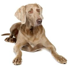 Weimaraner ❤ liked on Polyvore featuring dogs and animals