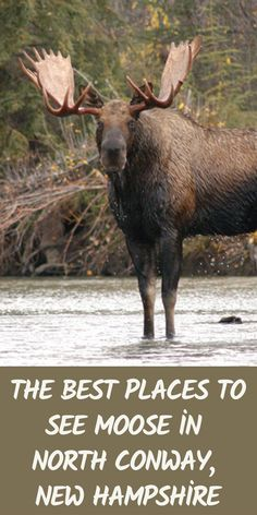 The Best Places to See Moose in North Conway, New Hampshire