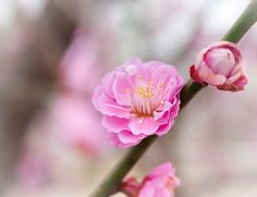 I Saw You in a Dream -- The plum blossoms are a few weeks gone now, but we can still enjoy them in our photos and dreams.  //By David LaSpina of JapanDave.com