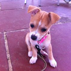 Dolly, an 11 week old Chihuahua cross Jack Russell