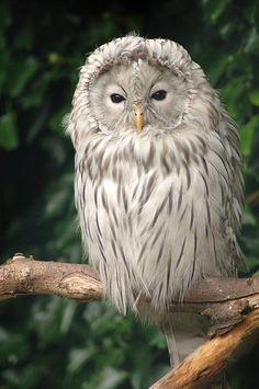 White Owl, Cumbria, England