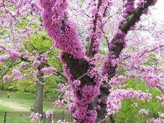 juda tree