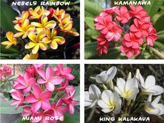 7 Plumeria ( Frangipani, Hawaiian Flower ) Seeds, Exotic Flower Seeds Mix Colors #HawaiianFlowerSeeds