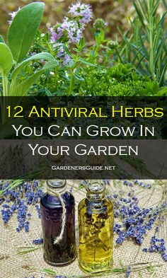 12 Antiviral Herbs You Can Grow In Your Garden Kitchen Gardening, Urban Gardening, Vegetable Gardening, Container Gardening, Vegetable Garden For Beginners, Gardening For Beginners, Gardening Tips, Herbal Plants, Medicinal Plants