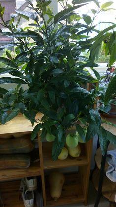"""Cultiver le pépino n'est pas très compliqué. Cette plante, encore appelée """"melon-poire"""", fait partie de la famille des solanacées. Vous connaissez sûrement d'autres représentants de cette riche famille comme les tomates, les aubergines ou encore les pommes de terre. Ces légumes si connues viennent d'Amérique du Sud et ils étaient… Lire la suite..."""