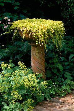 Lysimachia nummularia 'Aurea': Creeping Jenny planted in a bird bath Garden Whimsy, Garden Art, Garden Design, Big Garden, Unique Gardens, Beautiful Gardens, Beautiful Gorgeous, Alchemilla Mollis, Raised Beds