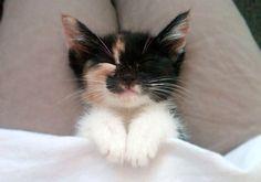 cute rescue calico kitten lap cat sleeping
