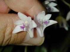 Andy's Orchids - Species Specialist - Dendrobium - kingianum v. silcockii