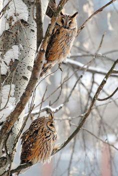 tree owls snow