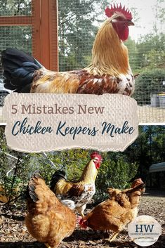 Mistakes new chicken keepers make. Raising chickens is probably a lot easier than you think. Try to avoid these five mistakes now that you know about them! Best Chicken Coop, Building A Chicken Coop, Chicken Coops, Raising Backyard Chickens, Keeping Chickens, Baby Chickens, Chicken Incubator, Hens, Livestock