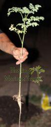 moringa oleifera tree!