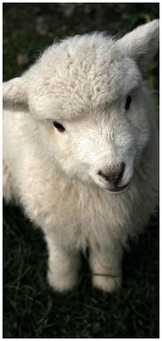 the perfect Spring lamb Farm Animals, Cute Animals, Countryside, Lamb, Pets, Barns, Fluffy Pets, Animals, Pretty Animals