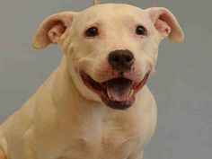 SAFE - 07/30/15 - TO BE DESTROYED - 07/28/15 - SHEBA - #A1045219 - Urgent Manhattan - FEMALE WHITE AM PIT BULL TER MIX, 5 Yrs - OWNER SUR - EVALUATE, NO HOLD Reason INAD FACIL - intake Date 07/24/15