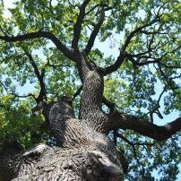 Kocsányos tölgy - Quercus robur