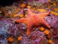 bat sea star