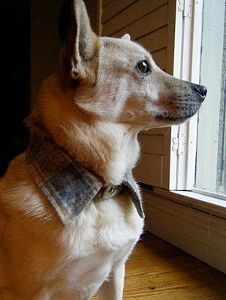 Upcycled Dog Collar, cut the collar off hubbies old flannel shirt before you toss it. Dress up your pet!