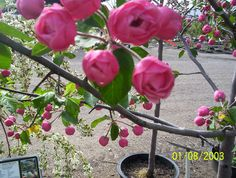 'Brandywine' crabapple is kind of a big, funny looking tree.  Its flowers, however, are breathtaking!