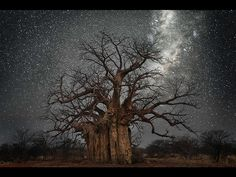 Lacerta - A baobab in South Africa. (Beth Moon) http://www.smithsonianmag.com/arts-culture/photos-ancient-trees-beth-moon-southern-africa-diamond-nights-180955603/