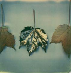 polaroidr:   gold leaf by yoancke